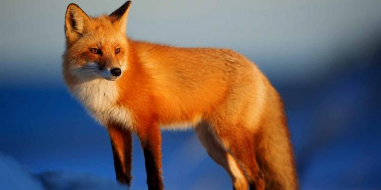 Fox Nature Animals Wild Animal Wildlife