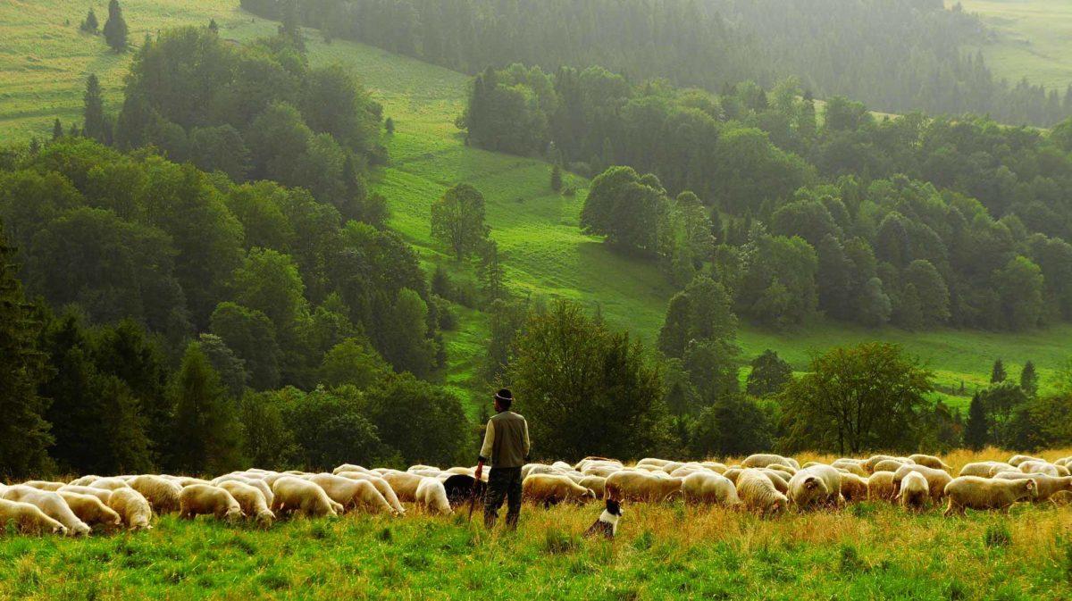 Sheep Farmer Shepherd Agriculture