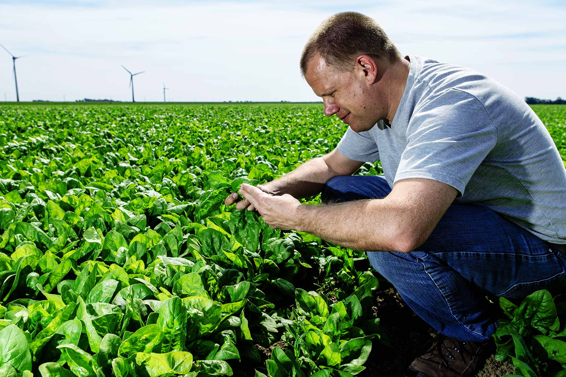 Agriculture - A farmer controlling the spinach harvest
