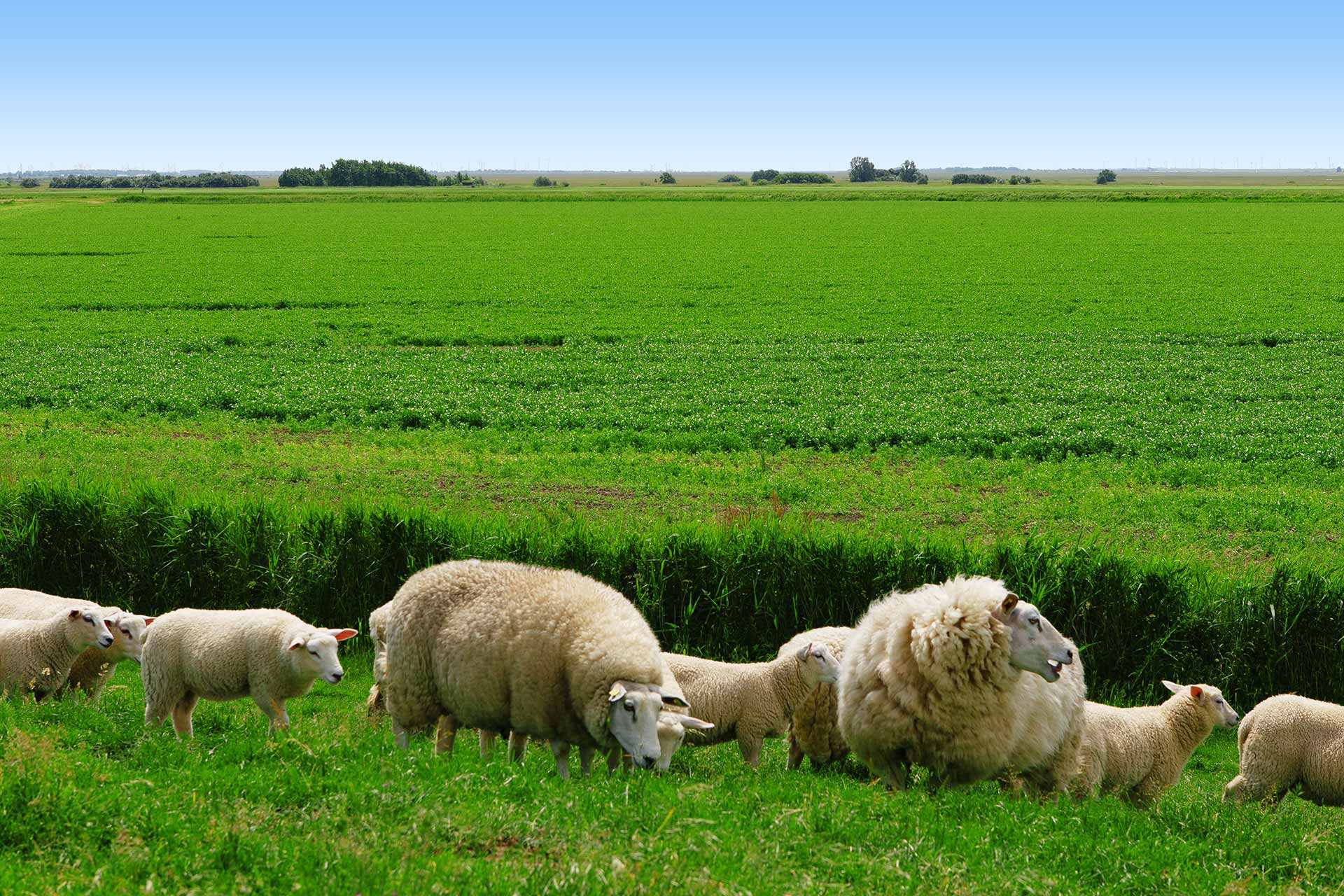 Agriculture - Sheeps grazing next to a peas field