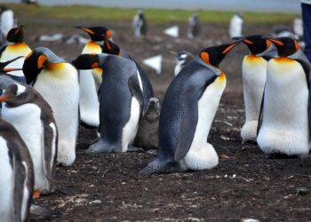 Penguins in the Falkland Islands