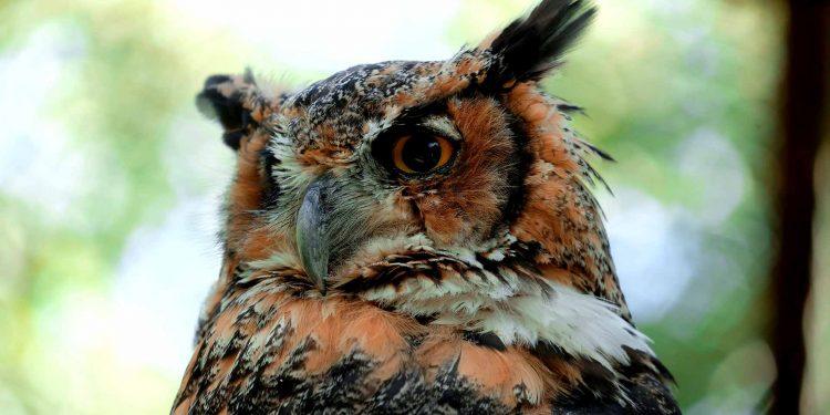 owl bird in nature