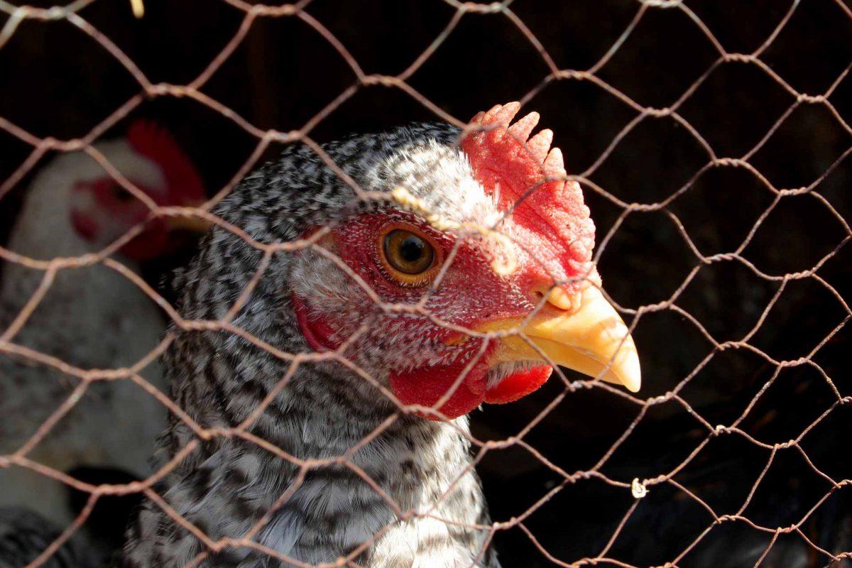 cage chicken