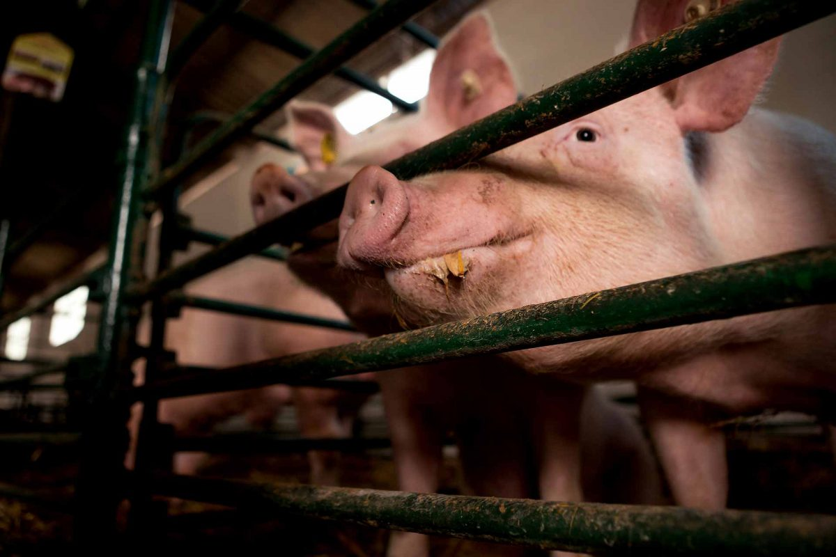 pigs eating in a cage